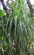 20 Samen Elefantenfuß (Beaucarnea/Nolina recurvata), Flaschenbaum, Zimmerpflanze