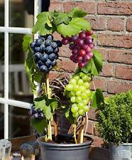Miniature Grape Vine Seeds Grape Seeds  Organic Fruit Seed Mini Grape Seed Sweet