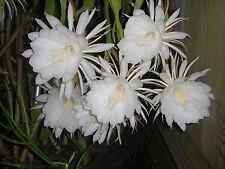 """1 PLANT - NIGHT BLOOMING CEREUS EPIPHYLLUM OXYPETALUM CACTUS ORCHID 10"""" +"""