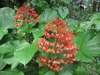 *Rare* Tropical Buttefly Red Pagoda Chandalier Flower Plant (10 seeds)