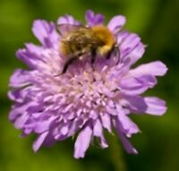 Wildflower Seeds - Field Scabious - 75 Seeds