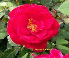 "Sunrosa - Red - Miniature Rose - 1 Plant - 4"" Pot - Antique- Zone 4 - 10"