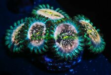 New listing Cornbred's Space Jam Palys - Frag - Live Coral