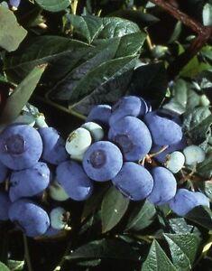 Riesen-Heidelbeere Vaccinium corb. 'Goldtraube 71 ` 30/40 CM 3 Pflanzen