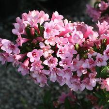 1 X WEIGELA 'PINK POPPET' DECIDUOUS SHRUB HARDY GARDEN PLANT IN POT