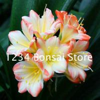 Mini Bonsai Clivia Flowers China Potted Outdoor Balcony Garden NEW 30 Pcs Seeds
