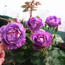100pcs Purple Rose Climbing Rose Seeds Perennial Flower Garden Decor Home Plant