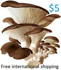 Winter Oyster mushroom pleurotus ostreatus mycelium plugs spawn 4 dowels $4.90