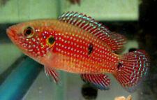 Red Jewel Cichlid Live Freshwater Aquarium Fish