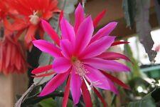 "Epiphyllum Blattkakteen Epicactus ""Wachtel"" Steckling"