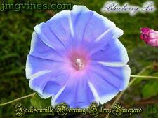 Blueberry Pie Japanese Morning Glory 6 Seeds