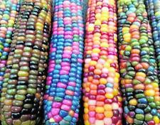 20 Semillas Maiz Arcoiris Ancestral