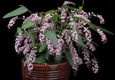 RARE 4 graines  POIS DE CORAIL ROSE (Hardenbergia Violacea Rosea)G838 SEEDS SEMI