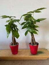 Braided Money Tree Or Bonsai And You Pick Pot Color