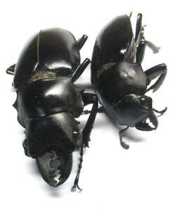 I009 SA :Lucanidae: Odontolabis alces pair 35mm/45.5mm ************