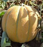 10 g Melon seeds Ethiopian Ukraine heirloom Vegetable seeds
