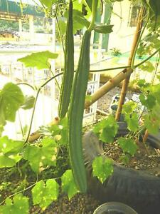 Luffa acutangula - Grow Your Own Sponge - 10 Fresh Seeds