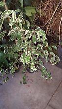 Ficus Benjamina Variegated -  1  to 2  Feet Tall - Ship in 1 Gal Pot