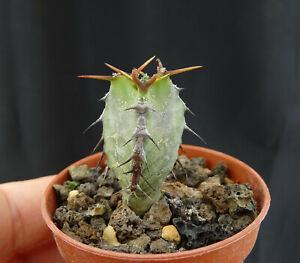 euphorbia momccoyae cactus caudex euphorbe stapelia   kakteen  萝藦奇葩  ガガイモ科
