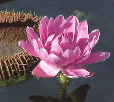Victoria Amazonica/Giant Water Lily/Lotus/ 30 seeds!!!