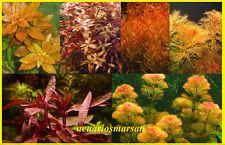 Planta de acuario, gambario  paludario .LOTE 6  ROJIZAS.CULTIVO SUMERGIDO.