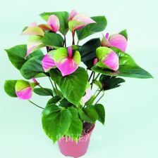 200pcs rare pink + green anthurium seeds, andraeanum grains,bonsai flower seeds