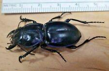 Warrior Ground Beetle Pasimachus californicus depressus group Carabidae S Tx K22