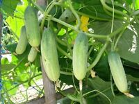 45 SEEDS CUCUMBER OF SILVER SEEDS THAI Organic Free Fast delivery