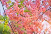 Die Cassia grandis seltene Pflanze mit einer rosa Blütenpracht Samen.