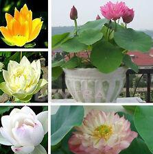 30 Pcs Fresh Mix Lotus Seeds Water Flower Viable Plants Fragrance Blooming LWC