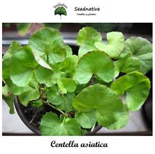 Centella asiatica - Gotu Kola - 30 semillas - Seeds