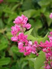 8 FRESH Pink Coral Vine / Antigonon Leptopus / Mexican Creeper Seeds