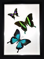 Swallowtail Swirl - Butterflies in a Frame