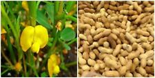 10 PERENNIAL PEANUT GRASS LIVE PLANTS Pinto Ground Cover Yellow Flower Arachis