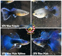 1 PAIR - Live Aquarium Guppy Fish High Quality - HB BLUE HALFMOON - USA SELLER