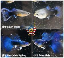 1 TRIO - Live Aquarium Guppy Fish High Quality - HB BLUE HALFMOON - USA SELLER