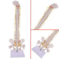 "18"" Vertebral Column Human Spine Anatomical Anatomy Medical Model Skeleton"