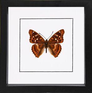 Freyer's Purple Emperor, Apatura Metis, Framed Butterfly