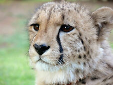 Cheetah 8x10 Photo Picture
