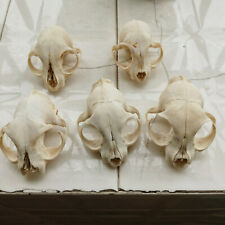 5 Pcs Civet skulls/ Real animal skull/Garden decoration/ incomplete/ craft/
