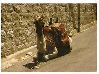 Jerusalem, Camel, Israel, Palestine Rare Picture Postcard