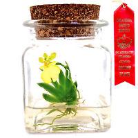 Maintenance free! Orchid Terrarium: Psygmorchis pusilla. Live! Gift Plant
