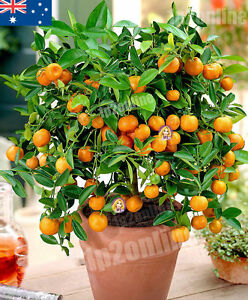 Dwarf Orange Mandarin Indoor House Plant Outdoor Plants Tree 15 Seeds RARE