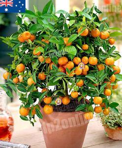 Dwarf Orange Manderin Seed Tree 15 RARE Seeds Fruit Bonsai Indoor house plant