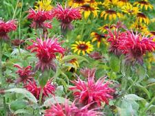 beebalm, Red Bee Balm flower, Monarda, 15 seeds! GroCo