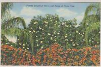 USA postcard - Florida Grapefruit Grove and Hedge of Flame Vine
