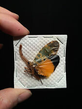Entomologie Insecte Superbe Pyrops candelaria A1 de Thailande!!
