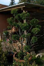 Großer Eiben Bonsai