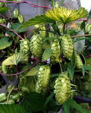 Beer Hop Plant -Nordbrau- 'Humulus Lupulus' - Good Hop Plant for Making Beer