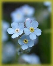 Forget Me Nots- 500 Seeds - 50 % off sale